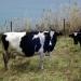 Las vacas de Horta
